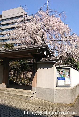 常照院の桜