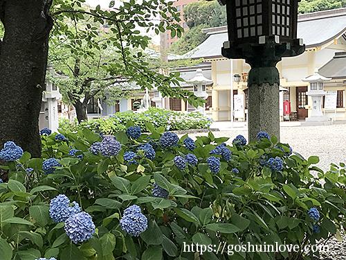 愛知県護国神社の紫陽花